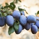 When and how to prune your plum tree