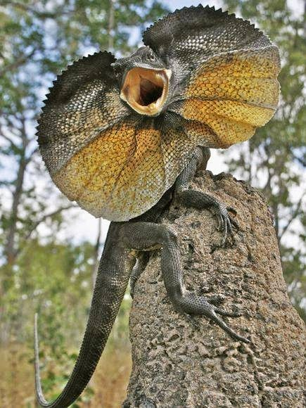 The frilled-neck lizard (Chlamydosaurus kingii), also known as the frilled lizard or frilled dragon, is a type of lizard that is found mainly in northern Australia and southern New Guinea. This species is the only member of the genus Chlamydosaurus. Its name comes from the large frill around its neck, which usually stays folded against the lizard's body.