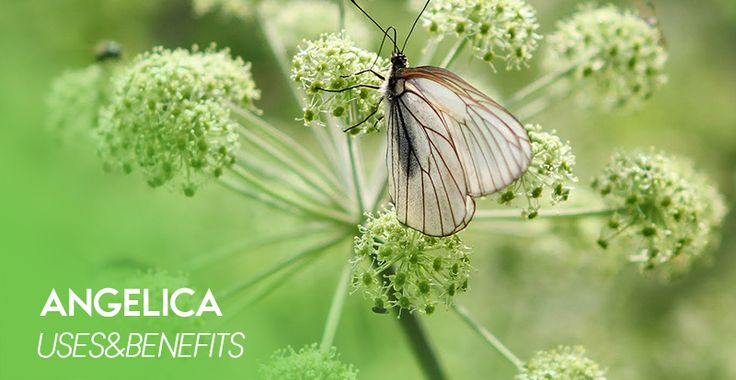 Angelica (Archangélica officínalis) - 100% natural Siberian herbs that contain no GMOs, dyes, flavors or other artificial additives