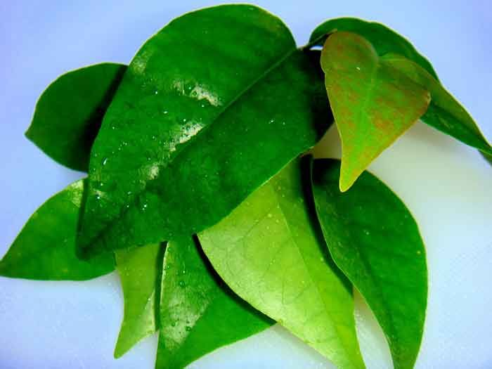 <p>O chá preparado com a folha de laranjeira tem efeito calmante. Por isso, ele é indicado para casos deinsónia, ansiedade,stresse nervosismo de um modo geral.Além disso, a receita serve para reduzir os sintomas da enxaqueca, aliviar as cólicas menstruais e prevenir algumas infecções. Preparação : 1 colher (sopa) de folhas …</p>