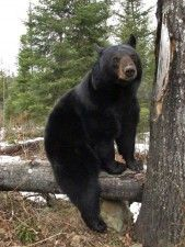 Lucky on log ~ North American Bear Center- home of Lily the Black Bear and other wild bears @ www.bear.org