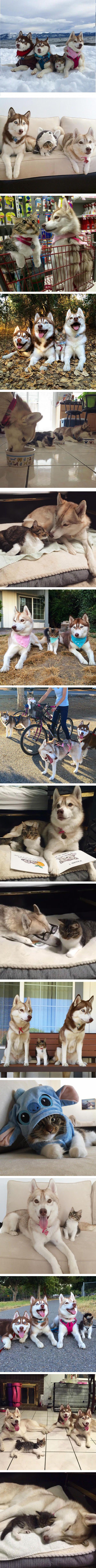 Il y a 6 mois, trois Huskies se baladaient tranquillement loin de leur foyer lorsqu'ils remarquèrent qu'un chaton, enfoncé dans la neige et proche de l'hypothermie, était seul et n'avait que peu de chance de survivre.