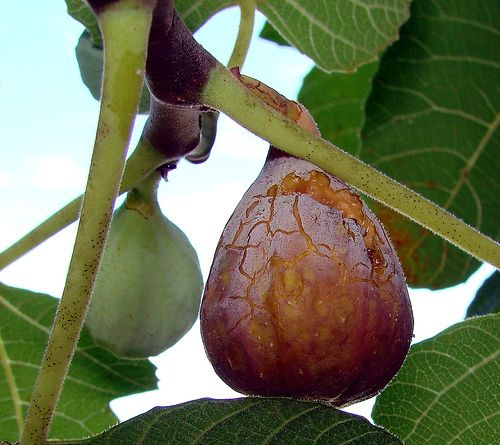 5 ways to eat fresh figs and ignore the dissolved bugs.