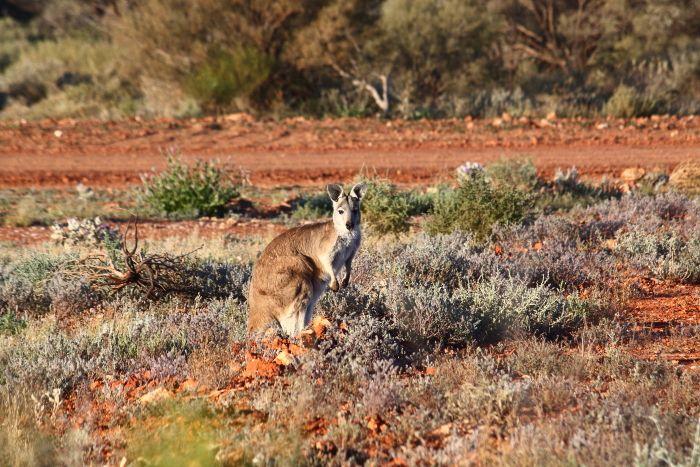 Kangaroo Leonora Western Australia