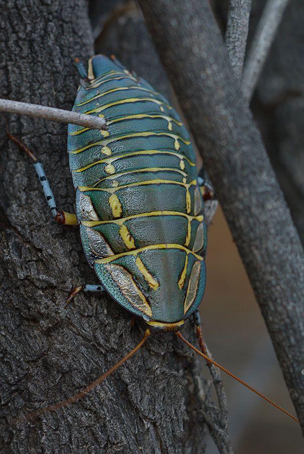 A Painted Trilobite Cockroach, taken in Australia