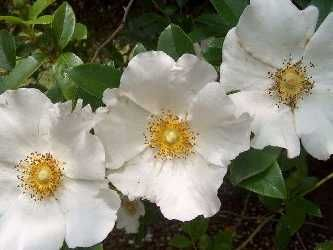 This is a Cherokee rose. It is a beautiful flower named about the Cherokee Indians.