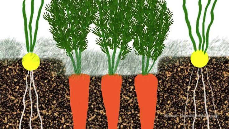Выращивание моркови, лука, чеснока, сельдерея