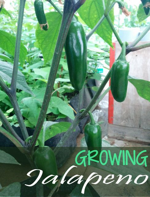 How to grow  Jalapeno Peppers - Jalapeno Plant Care      The Jalapeno pepper plant is the most important plant in your garden if you are into mexican cuisine. Jalapeno plant belongs to the same family as any solanaceae which includes bell peppers, fiery bhut jolokia. Despite being in the same f