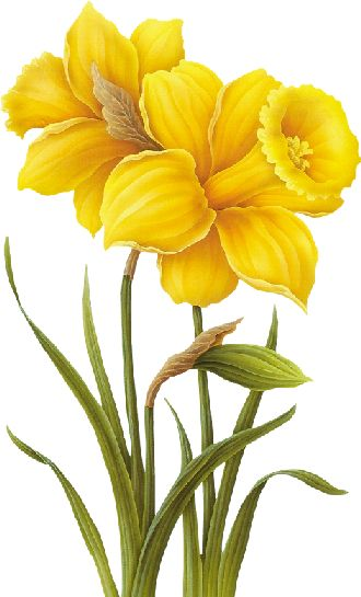 daffodil Tubes de Kore