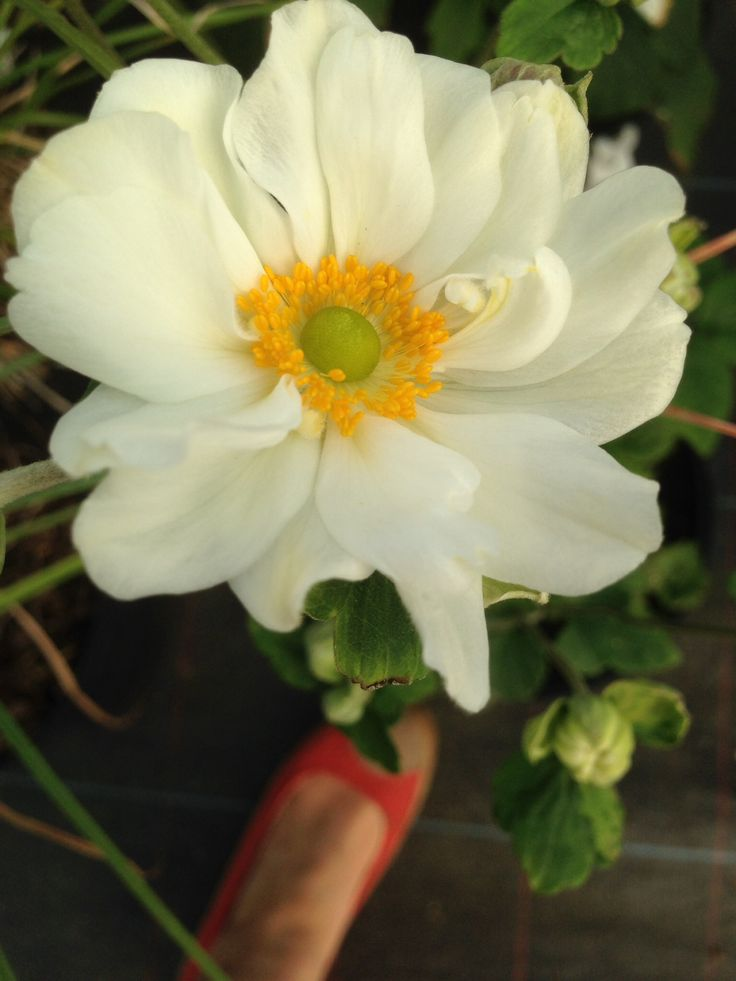 Anemone hyb.Whirlwind white with oranges center grows to 1.4m high spreads 60cm