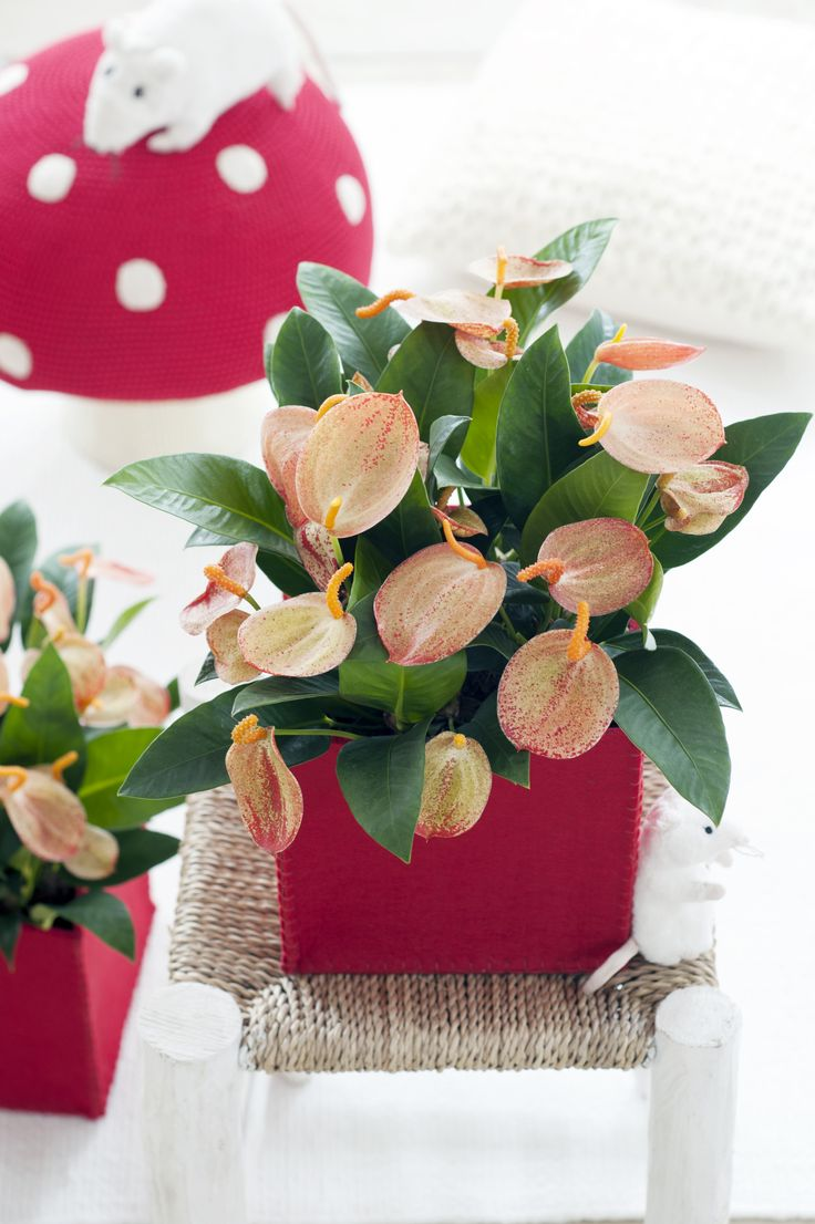 Anthurium ist die Zimmerpflanze des Monats Juni