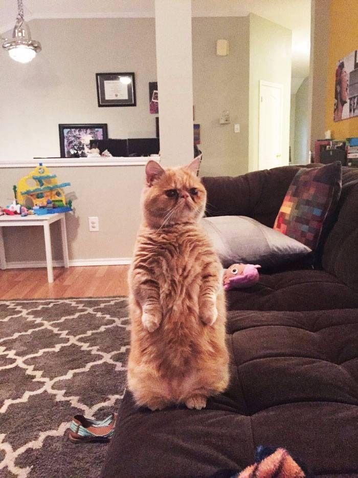 Voici George le chat qui préférait se tenir debout sur ses deux pattes arrières