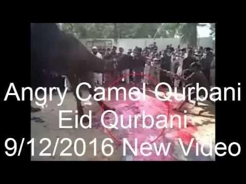 Angry Camel Qurbani | Eid Qurbani | 9/12/2016