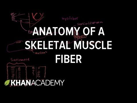 Anatomy of a skeletal muscle fiber | Muscles | Khan Academy