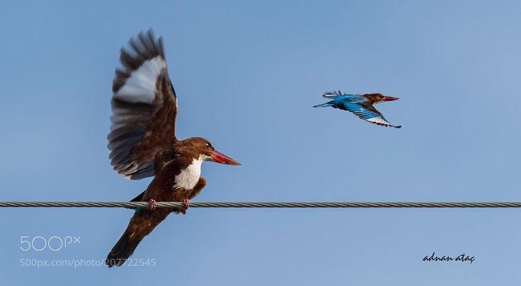 İzmir yalıçapkını - White throated Kingfisher - Halcyon smyrnensis by aatac