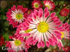 Хризантема: как вырастить шикарные цветы