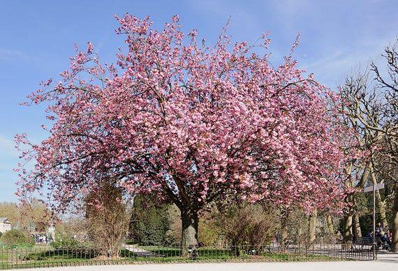 5 Kwanzan Cherry Trees Prunus Serrulata 3 Containers Free Shipping Prunus Serrulata Prunus Dogwood Trees