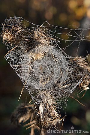 Overblown weed wrapped in cobwebs autumn morning.