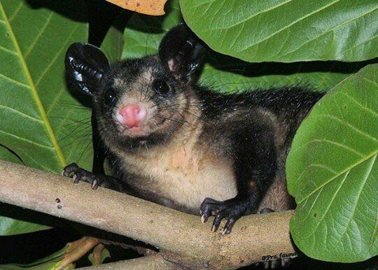 En Venezuela también tenemos marsupiales y son muy interesantes. Te presentamos a uno de ellos.  Sí sabemos que siempre has querido abrazar a un koala y ver qué hay dentro de la bolsa  de un canguro lo que no te recomendamos en lo más mínimo. Aunque estos son los marsupiales más populares también hay especies muy parecidas a ellos que están más cerca de ti de lo que pensabas.  Te presentamos al rabipelado (Didelphis) conocido en otros países como zariguella estos animales suelen tener una…