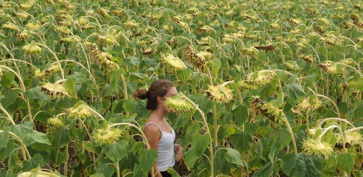 Non ti rendi conto di quanto sono alti i girasoli fino a quando non ti trovi in un campo.
