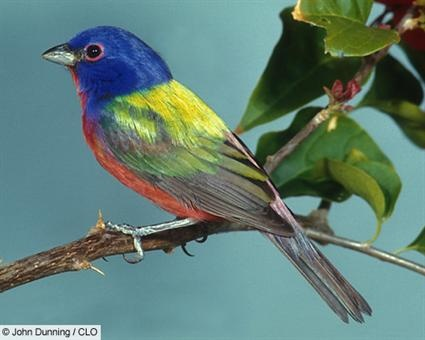 Painted Bunting used to be all over Hilton Head when I was a child!