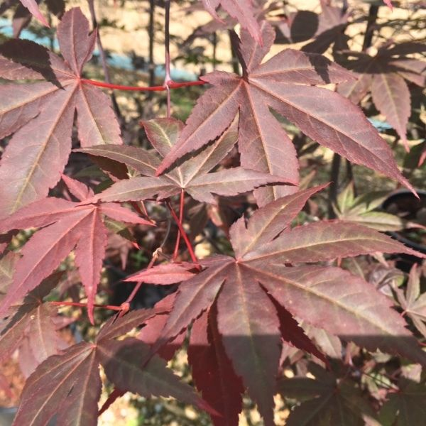 Acer palmatum 'Red Emperor'