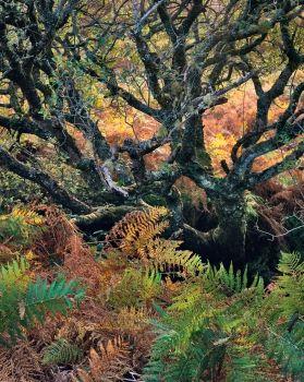 Golden Ferns, Eigg