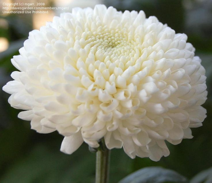 Pom Pom chrysanthemum - small globular bloom, somewhat flat when young but fully round when mature - 1-4 inch diameter