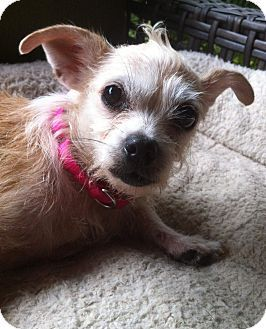 Brattleboro, VT - Chihuahua/Wirehaired Fox Terrier Mix. Meet Ragamuffin a Dog for Adoption.