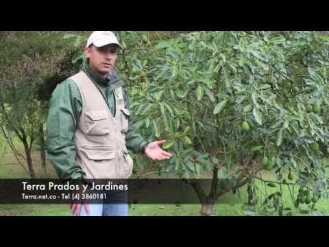 Mantenimiento de árboles frutales - Terra Prados y Jardines. Cuidamos los árboles frutales, fertilizamos y estamos pendientes de su crecimiento y posibles bichos, hongos y otras enfermedades que puedan afectarlos  www.terra.net.co  Música Last.fm - Josh Woodward - East Side Bar  Tel: (4) 3860181 • Fax: (4) 3861916 • Cel: 315 5862813 Vía las Palmas, Km 17, Centro Comercial Indiana, Of 226. Envigado, Colombia