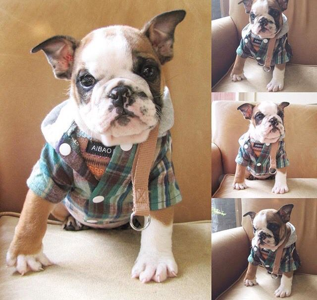 Look how handsome Chorizo is in his plaid hoodie!  He loves his pictures. True model.   http://mylittleamigo.com/collections/clothing/products/handsome-winter-hoodie