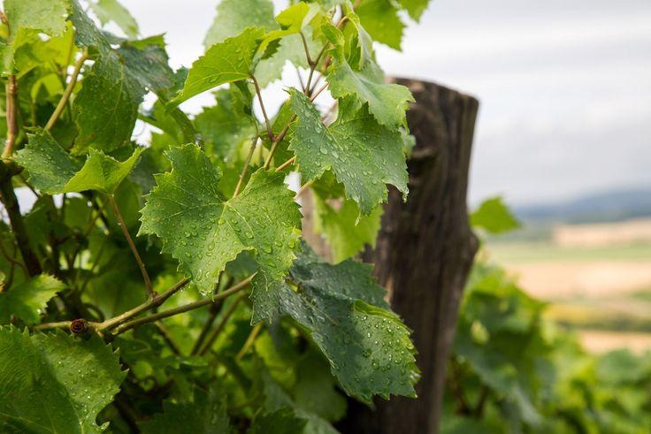 Júliusi eso Mádon  Holdvölgy Winery wine grapes  Blog.holdvolgy.com