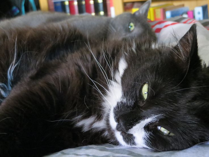 Oggy le Gris & Fantasy   By Ayuna Skol Ofenstrü (July 2016) #cats #chats #greycat #nap #sieste #greeneyes #animals #animaux #pets