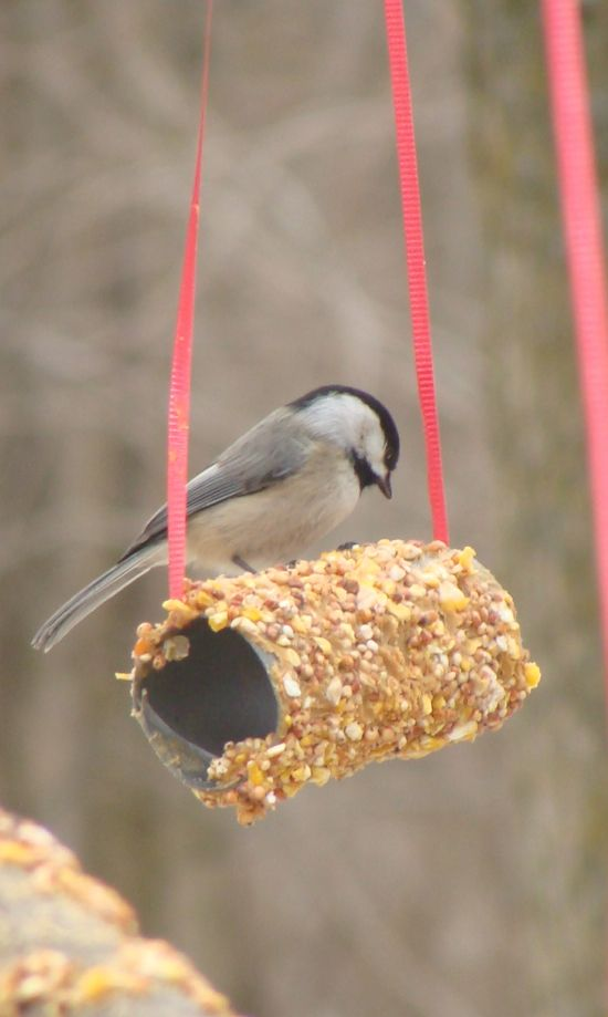 Easy toilet paper roll bird feeder. Cover it in peanut butter and bird seed! A cheap and easy craft to do with kids.