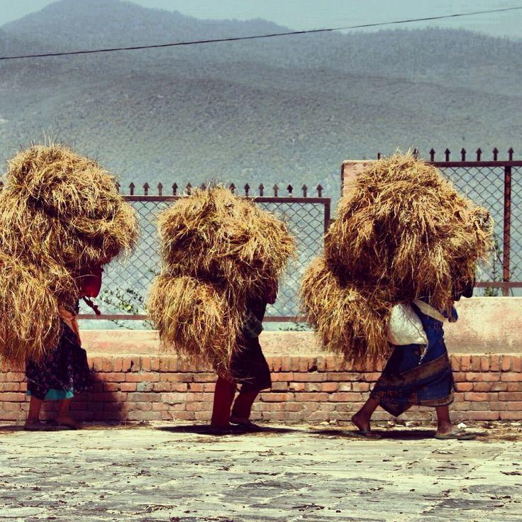 Nepal national park harvesting crops chitwan