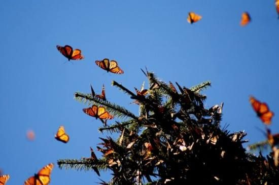 The Monarchs arrival at their wintering grounds in Mexico marks two events, one seasonal and one cultural. The seasonal event is the corn harvest. People in the region have noticed the arrival of monarchs since pre-Columbian times. In the language of the native Purépecha Indians, the monarch butterfly is called the harvester butterfly, because monarchs appear when it's time to harvest the corn. The cultural event is Dia de los Muertos. According to traditional belief, the monarchs are the…