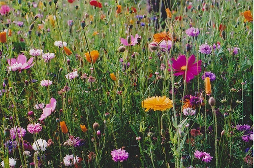 wild flower garden: Wild Flower, Wildflowers, Riding Horses