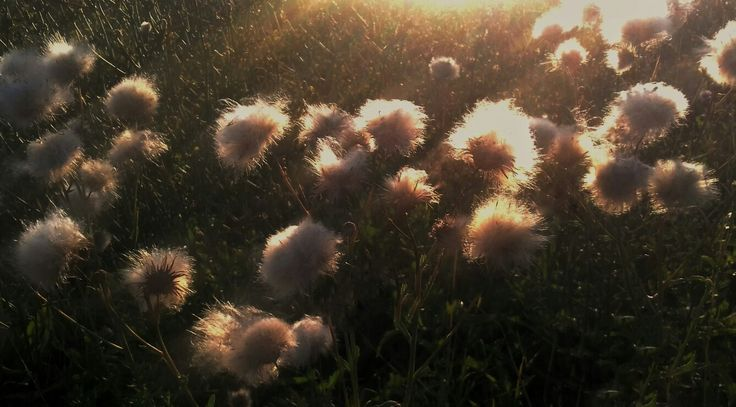 Flowers in sunset #flowers #sunset #sunsetphotos #flowerphotos #photos #photography