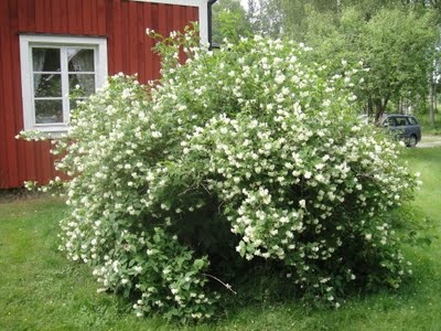 Jasmine bush.....my absolute favorite smell outside... i have so many great memories associated with this smell