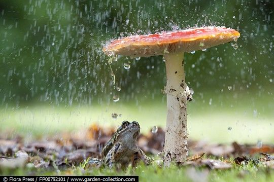 Umbrella for the frog