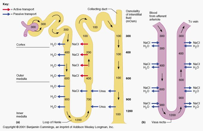 Kidney Physiology And Anatomy