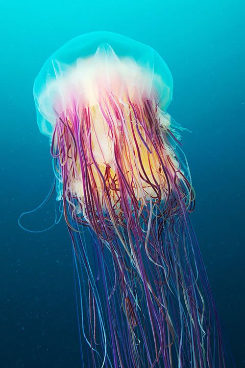 jelly fish by Russian underwater photographer Alexander Semenov