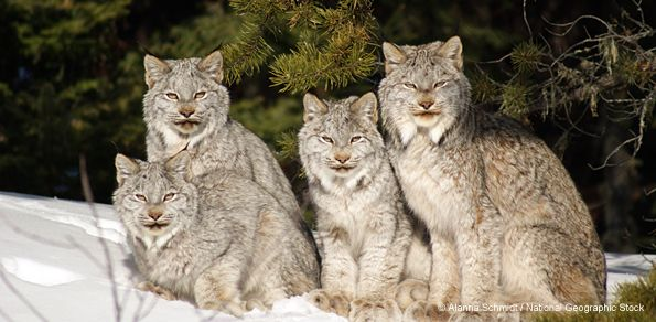 Endangered Canada lynx are losing their habitat. Canada lynx are rare in the lower 48 states and stick to snowy, forested, northern regions where they can hunt snowshoe hares, their primary prey. Because of their unique habitat requirements, lynx populations are clumped into isolated 'islands' of forest habitat in parts of Montana, Idaho, Wyoming, Colorado, Washington, Minnesota, Maine, New Hampshire, and Vermont. They have been on the threatened list since 2000 as their numbers have…
