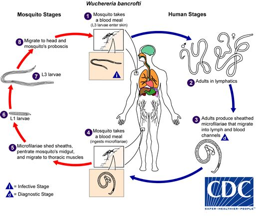 CDC - Lymphatic Filariasis - Biology - Life Cycle of Wuchereria bancrofti