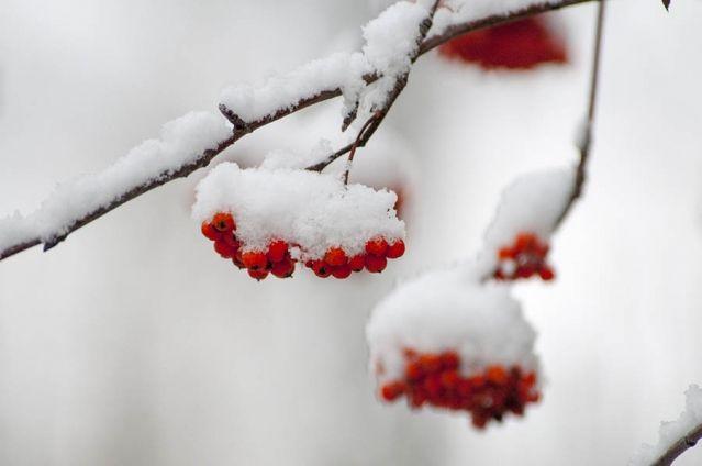 Рябиновое настроение, снежное и красно - холодное, как у снежной королевы, которая наслаждается спокойствием в своих снежных чер