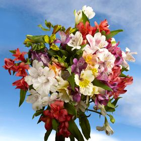 """Alstroemeria... also called peruvian lilies, one of my very favorite flowers and they are super long-lasting cut flowers.  These have a great possibility of being my wedding flowers, I love how colorful and """"summery"""" they are..."""
