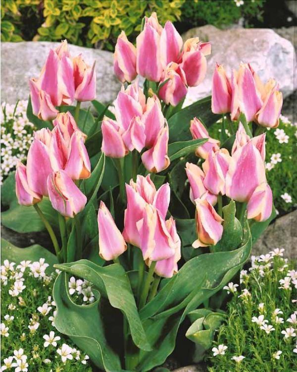 Tulipe #Quebec