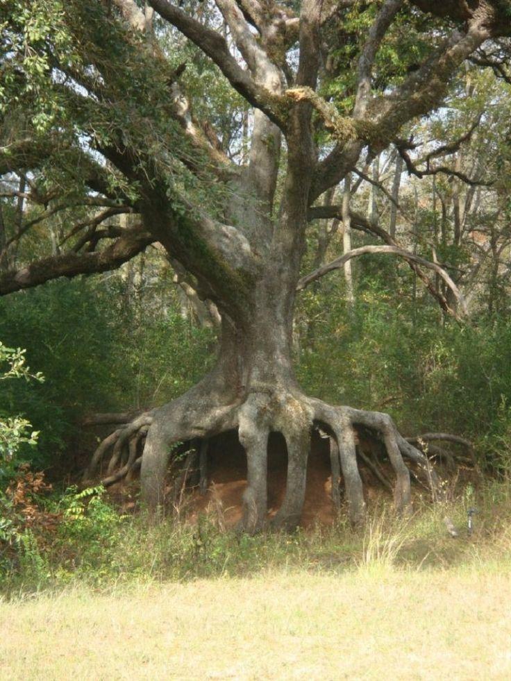 Oak Tree On Hwy 31 In St Martin Parish In Louisiana