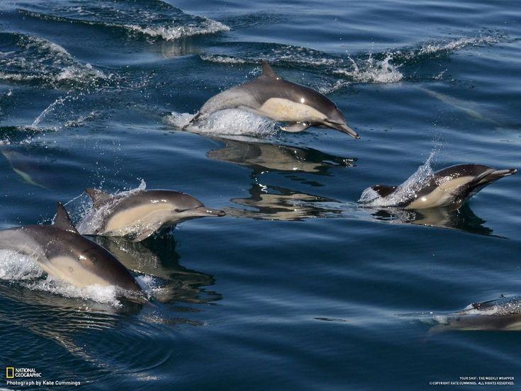 Лучшие фото за неделю от National Geographic: Дельфины плывут рядом с лодкой исследователей китов, залив Монтерей, Калифорния, США.