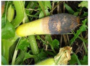 El cultivo del pepino: LAS HORTALIZAS EN SISTEMA DE ESPALDERA Y LA BOTRYTIS